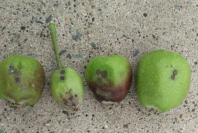 りんご黒星病